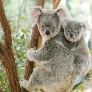 オーストラリア編 素敵スポット「ローン・パイン・コアラ・サンクチュアリー」